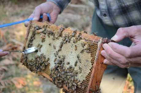 Richard Reed holds up a frame from his hive of Russian bees. He is using his sabbatical to raise two hives of bees, the other of which is from Italy. Photo by Megan McLoughlin.